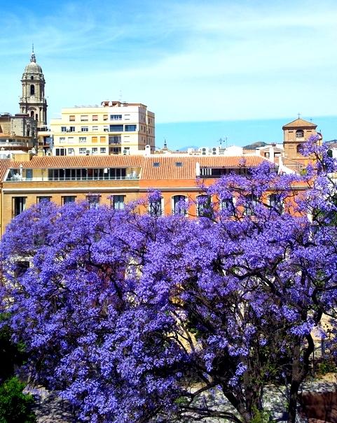 Jacaranda-mimosifolia-cattedrale-Malaga-andalusia